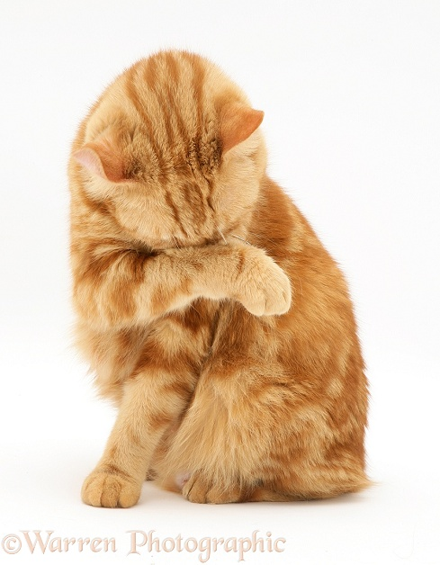 Red tabby British Shorthair cat washing her face, white background