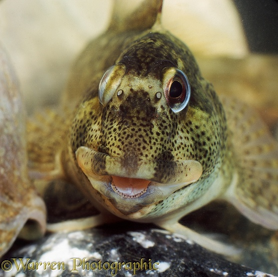 Common Blenny or Shanny (Blennius pholis) moving its eyes independently to look both fore and aft.  N. E. Atlantic south to Portugal