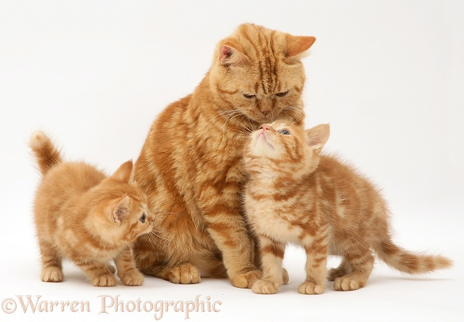 Red tabby British Shorthair mother cat and kittens, white background