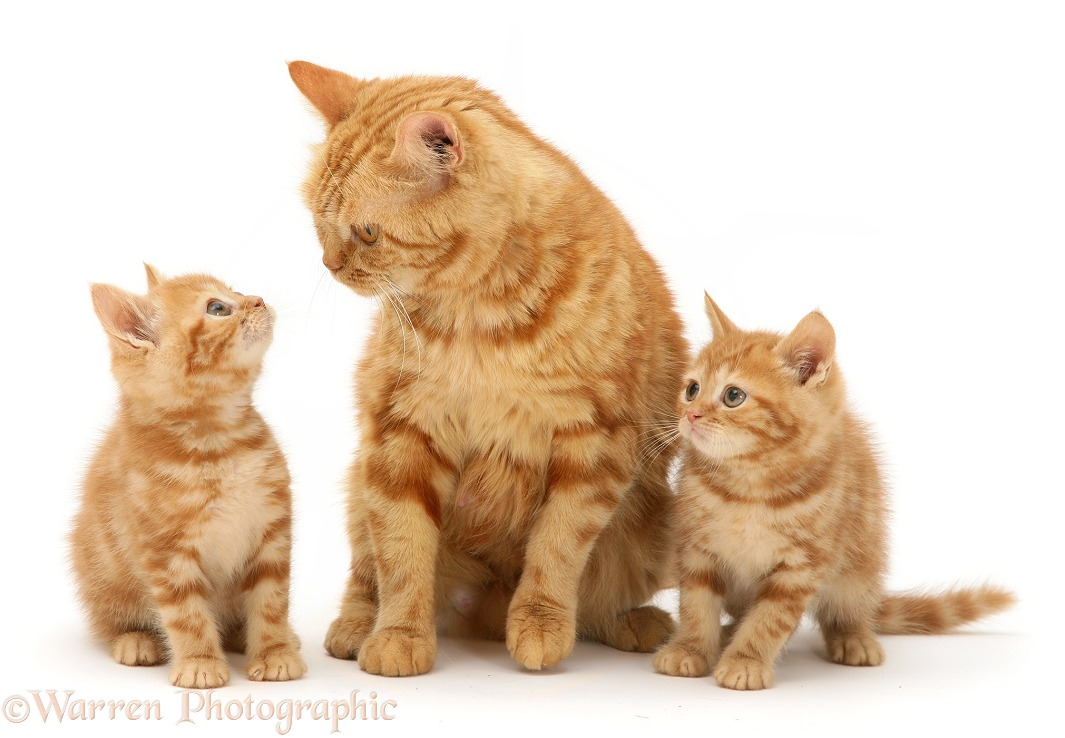 Mother Cat Meowing To Kittens