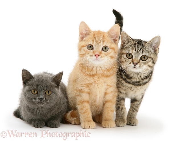 Cream, blue and brown spotted kittens, white background