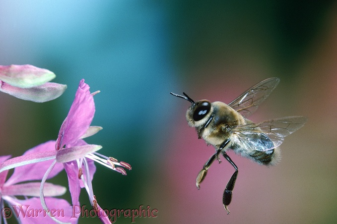 Honey Bee (Apis mellifera) drone in flight.  Worldwide