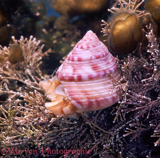 Painted Topshell (Calliostoma zizyphinum) on Coralline Algae (Corallina officinalis) with bladder-like weed (Leathesia difformis).  North Atlantic coasts