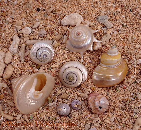Topshells and other marine snails with mother-of-pearl layer exposed, some as a result of wave action