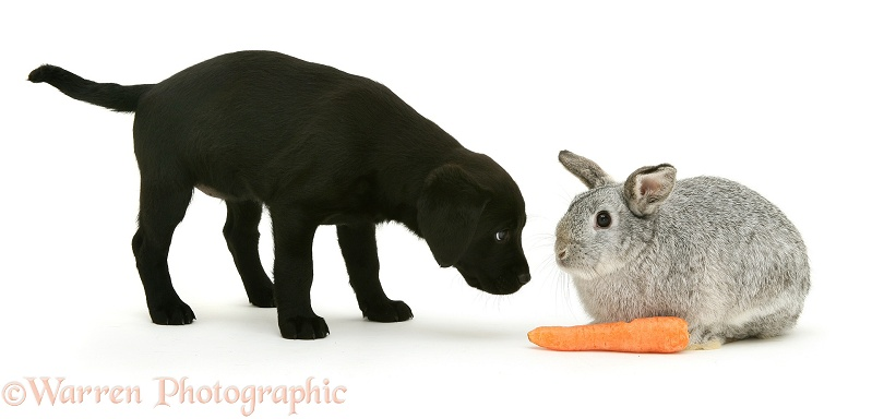 Black Labrador pup, 8 weeks old, about to steal silver Lop rabbit's carrot, white background
