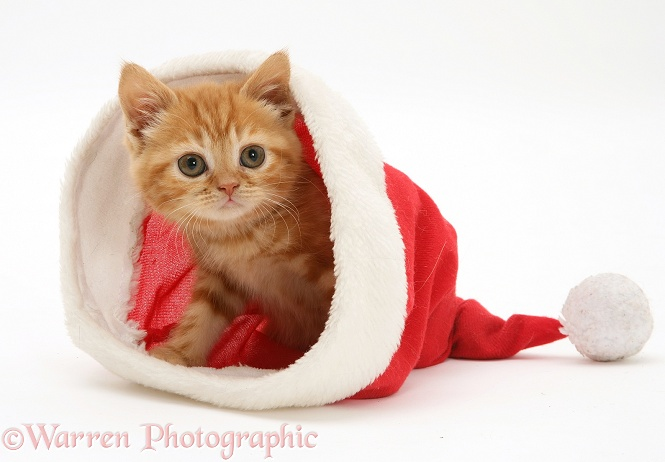 Red tabby kitten in a Father Christmas hat, white background