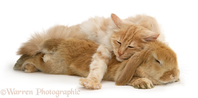 Red silver Turkish Angora cat and sandy Lop Rabbit asleep together, white background