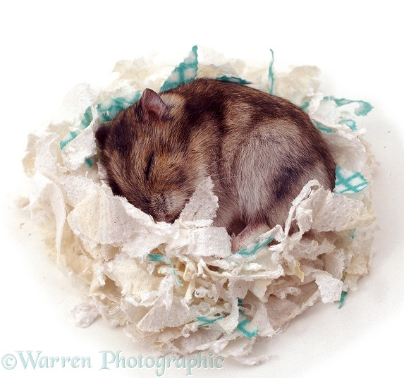 Dwarf Hamster (Phodopus sungorus) asleep in its nest of shredded paper.  Asia, white background