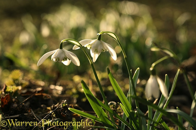Snowdrops (Galanthus nivalis) in early spring sunshine