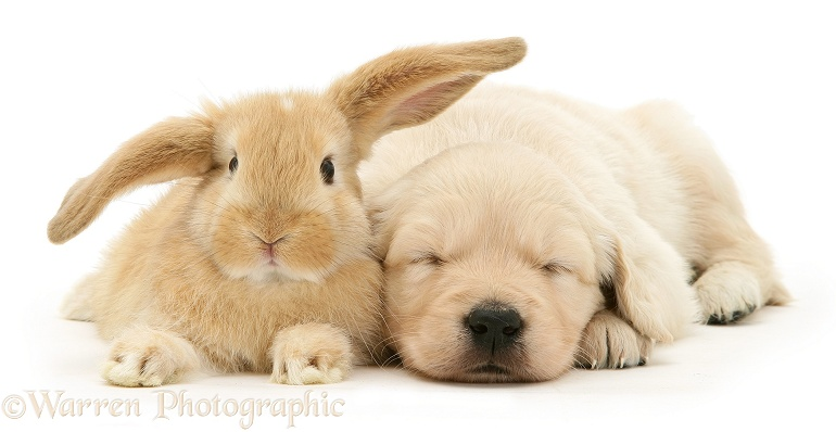 Baby sandy Lop rabbit with sleepy Golden Retriever pup, white background