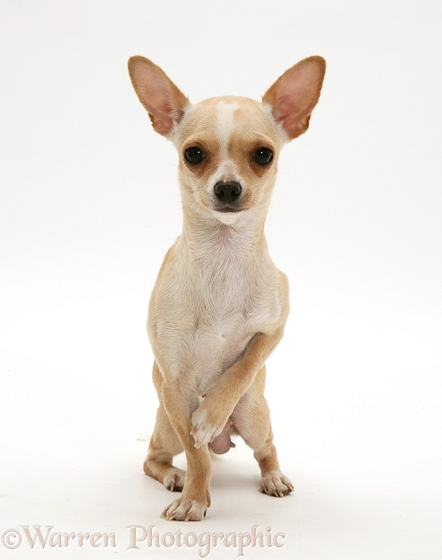 Smooth-haired Chihuahua, white background