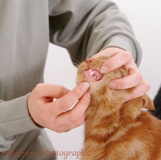 Inspecting the healthy teeth of ginger cat, Georgie, white background