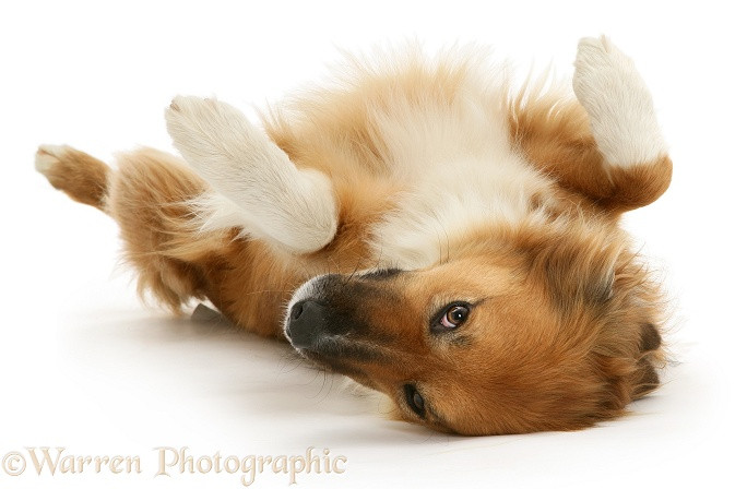 Border Collie bitch, Bliss, lying upside down, white background