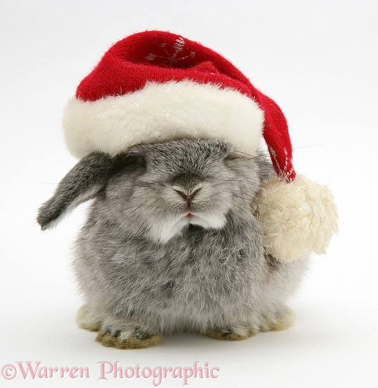 Silver baby rabbit wearing a Santa hat, white background