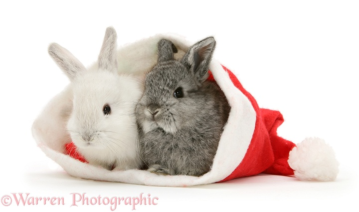 Two baby rabbits in a Father Christmas hat, white background