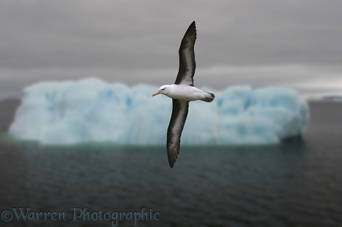Black-browed Albatross (Thalassarche melanophris).  Southern Oceans