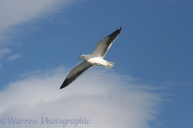 Kelp gull (Larus dominicanus) in flight.  Southern Oceans
