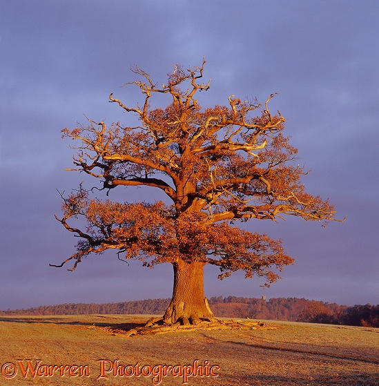 English Oak (Quercus robur) - Autumn 2005.  Surrey, England