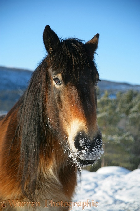 Pony with snow on its muzzle.  Norway