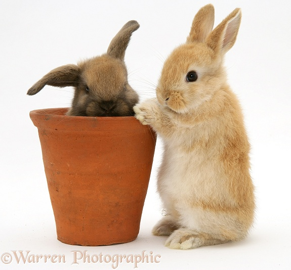 Baby rabbit in an earthenware flowerpot, white background