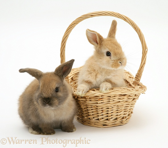 Baby rabbits. One in a wicker basket, white background