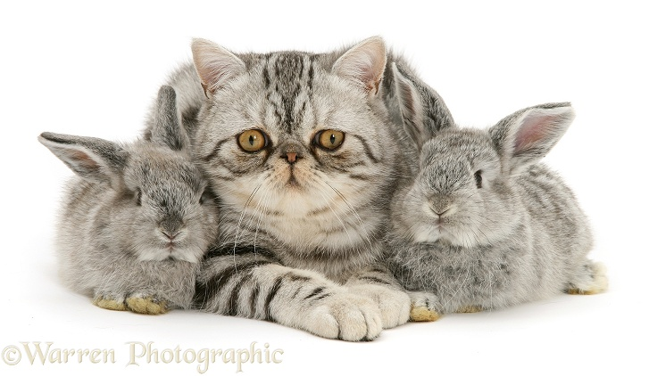 Silver Exotic cat and two silver baby rabbits, white background