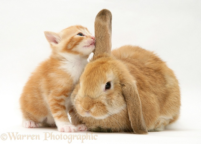 Ginger kitten sniffing ear of sandy Lop rabbit, white background