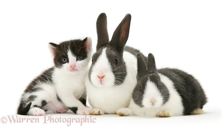 Black-and-white kitten with grey-and-white Dutch rabbits, white background