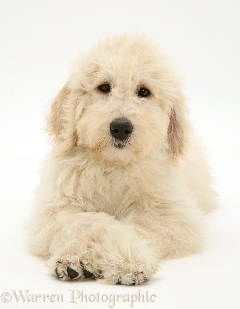 Labradoodle puppy with paws crossed, white background