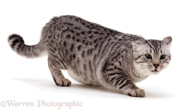 Silver spotted male cat Arum, 6 months old, in aggressive posture, white background