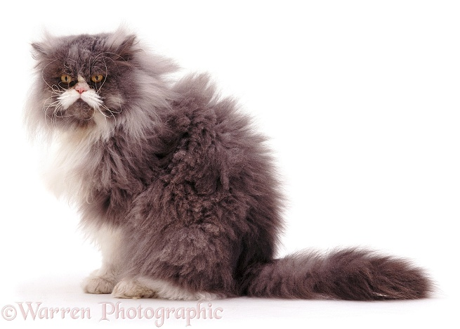 Unkempt elderly blue bicolour Persian cat Cobweb, about 12 years old, in need of grooming, white background