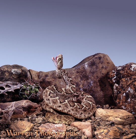 Diamondback Rattlesnake (Crotalus atrox) at the start of a strike before baring its fangs.  North America
