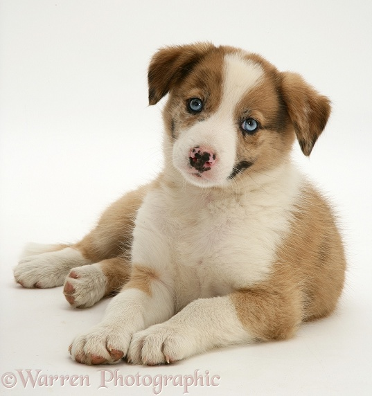 Blue-eyed red merle Border Collie puppy, Zebedee, white background
