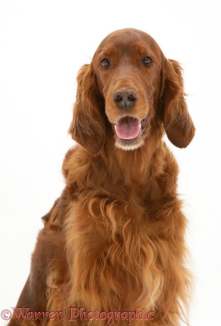 Red Setter bitch, portrait, white background