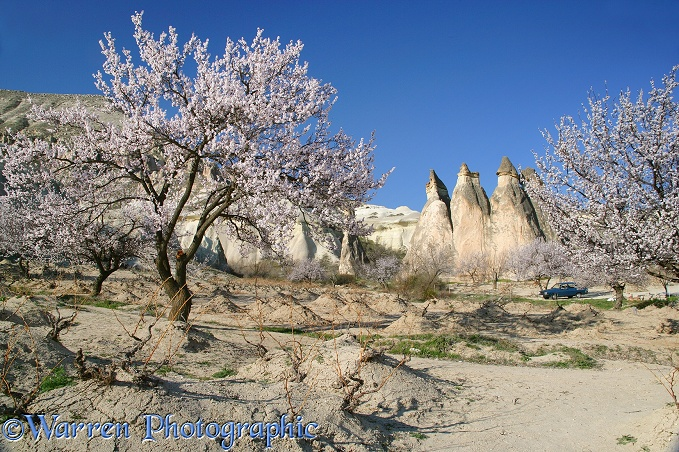 Sweet Almond blossom and fairy chimneys.  Kapadokia, Turkey