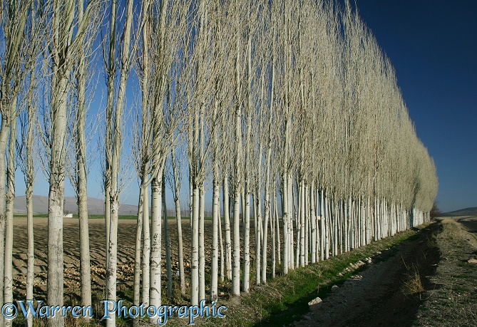 Row of Lombardy Poplars (Populus nigra).  Turkey