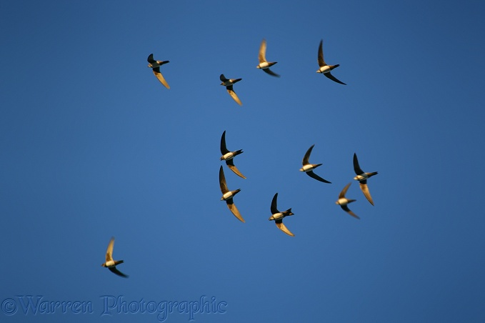Alpine Swifts (Apus melba)