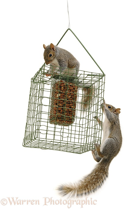 Grey Squirrels on squirrel-proof peanut holder, white background