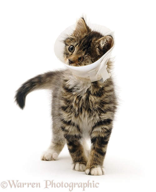 Kitten in Elizabethan collar to stop it scratching injured sutured eye, white background