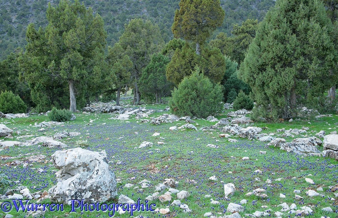 Woodland of juniper with Grape Hyacinth (Muscari armeniacum) flowers and limestone boulders.  Kizildag National Park, Turkey