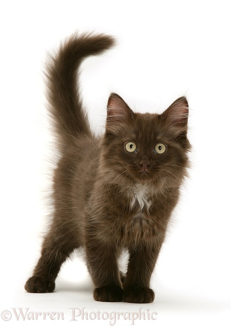 Chocolate Persian-cross kitten, white background
