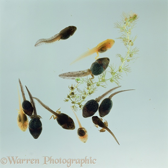 Common Frog (Rana temporaria) normal pigmented tadpoles with golden-yellow morphs