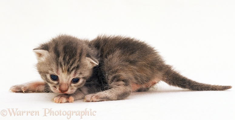 Silver tortoiseshell kitten, 2 weeks old, white background