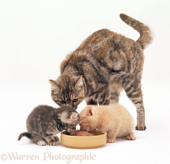 Silver tortoiseshell cat watching her kittens, 4 weeks old, eat from a bowl, white background