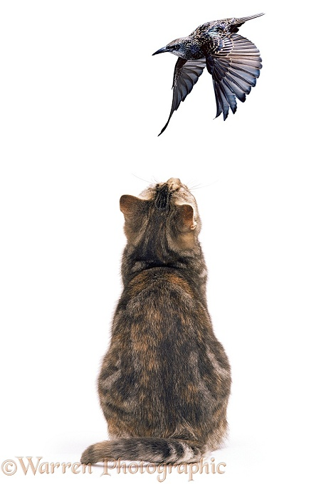 Tabby cat watching a flying Starling, white background