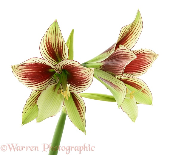 Butterfly Lily (Amaryllis papilio), white background