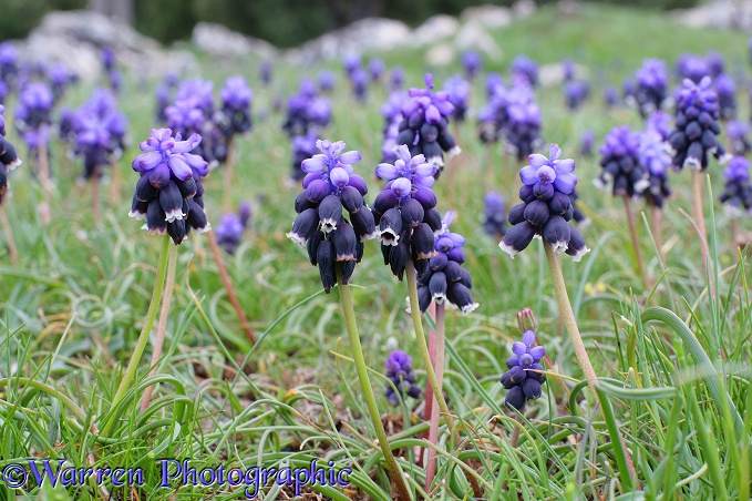 Grape Hyacinth (Muscari armeniacum).  Kizildag National Park, Turkey