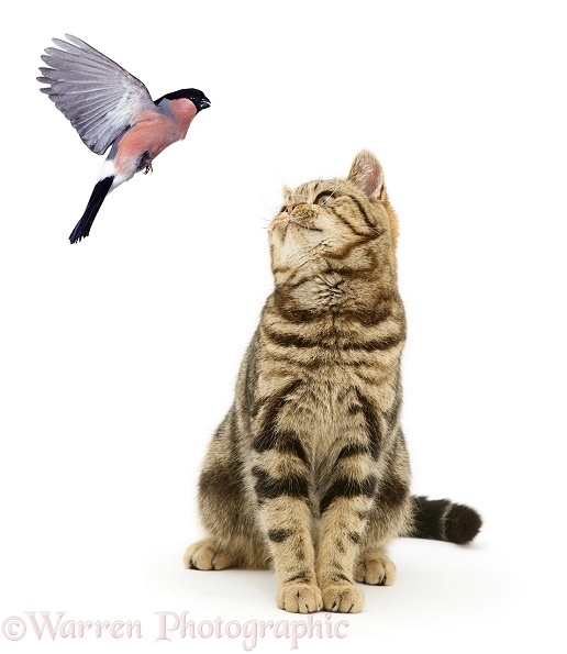 British Shorthair Brown Spotted cat, Tiger Lily, watching a flying Bullfinch (Pyrrhula pyrrhula), white background
