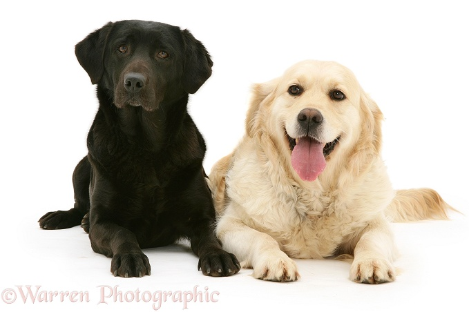 spesso Dogs: Black Labrador and Golden Retriever photo - WP12395 VY98