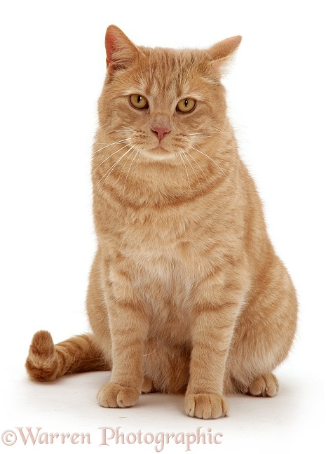 Cream spotted British shorthair cat Horatio with one ear forward and one back, white background